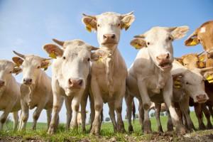Vaches laitières / Crédit photo : fotolia/karepa