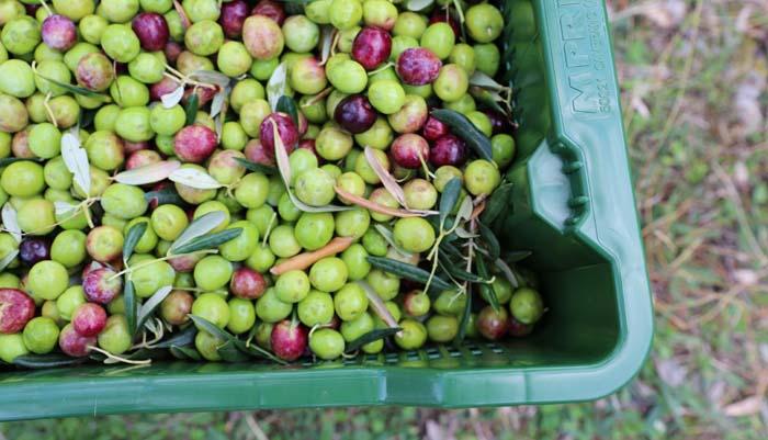Récolte d'olives vertes et noires