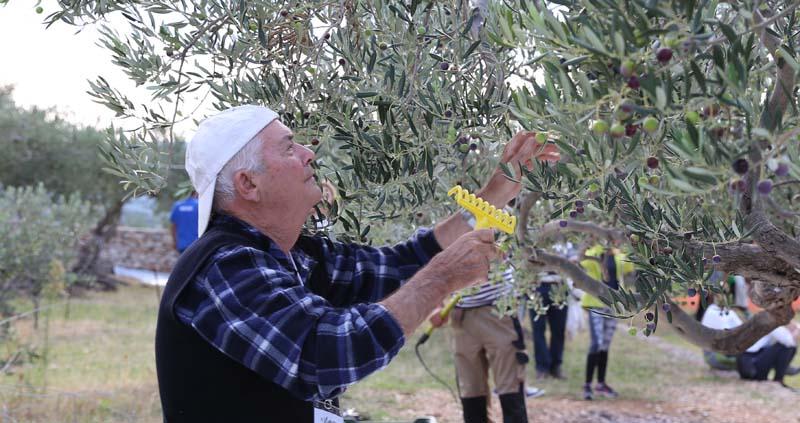 Récolte mécanique - peigne à olives