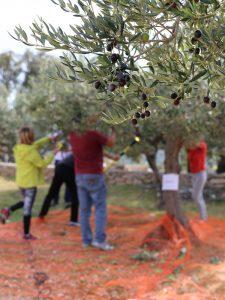 La récolte des olives ou olivades