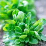 Salade de mâche - saison hiver